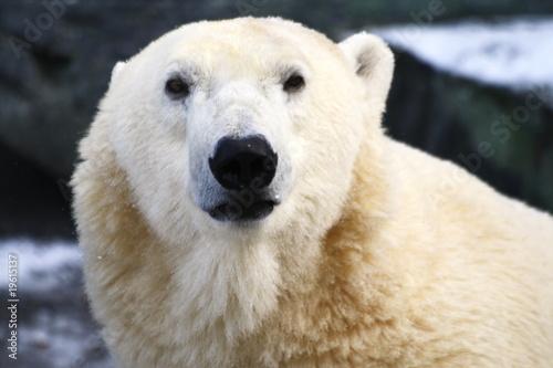 Poster Polar bear Eisbär