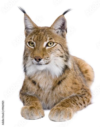 Foto auf Leinwand Luchs Eurasian Lynx, Lynx lynx, 5 years old