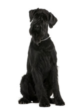 Giant Schnauzer, 1 Year Old, Sitting, Studio Shot