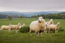Sheep In Wales