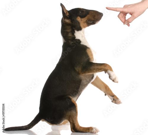Fotografia naughty dog - bull terrier - nine months old