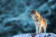 canvas print picture Wolf