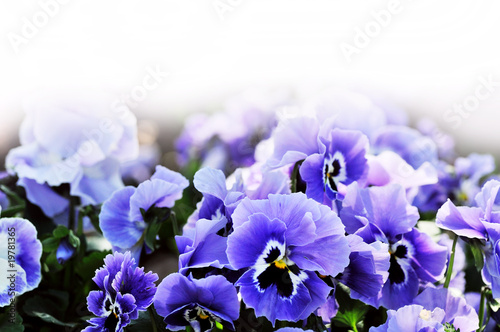 Papiers peints Pansies Violet pansy on white background