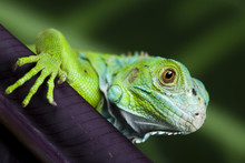 A Picture Of Iguana - Small Dr...