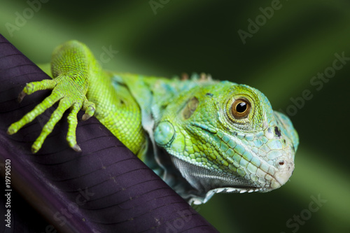 Photo  A picture of iguana - small dragon, lizard