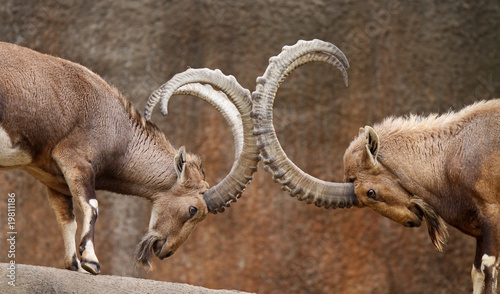 Fotografie, Obraz  Wild Goats Play-Fighting