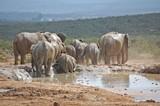 Fototapeta Sawanna - Słonie przy wodopoju