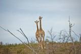 Fototapeta Sawanna - Dwie żyrafy na sawannie