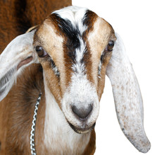 Nubian Ibex, Goat