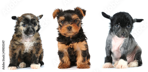 Group Of Puppies Lap Dogs Breed Buy This Stock Photo And Explore