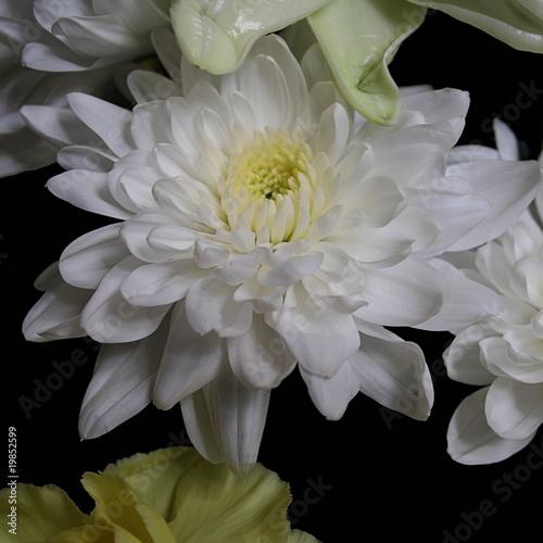 Poster de jardin Dahlia White Flower