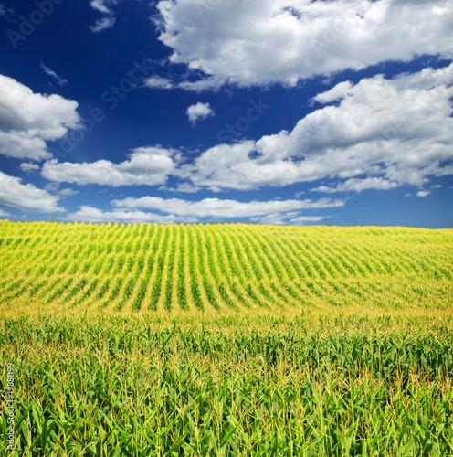 Poster Cultuur Corn field