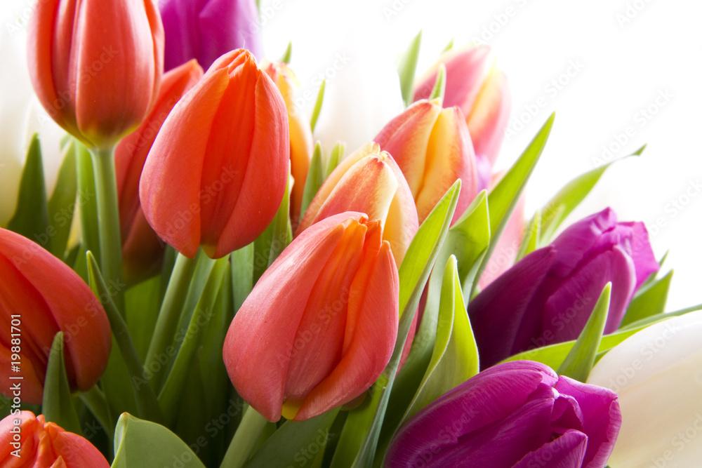 Fototapety, obrazy: Holenderskie tulipany