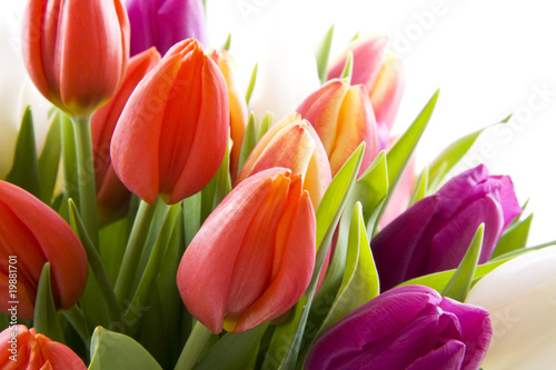 Photo  Dutch tulips