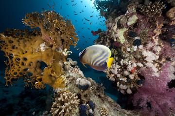 Naklejka na ściany i meble emperor angelfish and ocean