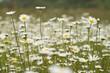 kwiaty polne