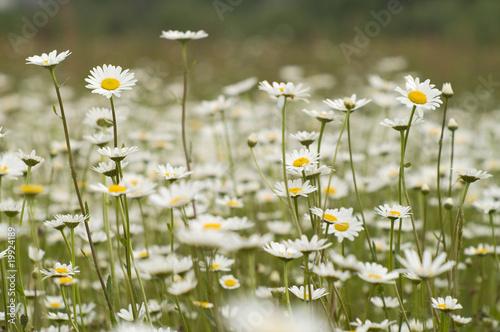 Fototapeta kwiaty polne obraz