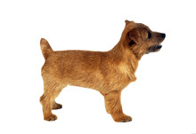 Norfolk Terrier De Profil En S...
