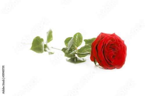 Red rose © wabeno