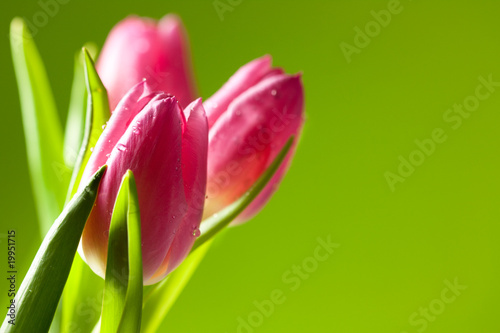 Tuinposter Tulp tulips on green