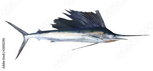 Printed kitchen splashbacks Fishing Sailfish real fish isolated on white