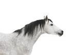 szary koń na białym tle - 20016369