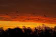 Vol d'une troupe de cigogne à l'aube, au dessus des renclôtures