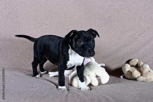 Chiot Staffordshire Bull Terrier Occupé Avec Ses Peluches