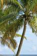 cocotier arbre tropical