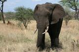 Elephant. Tanzania, Africa