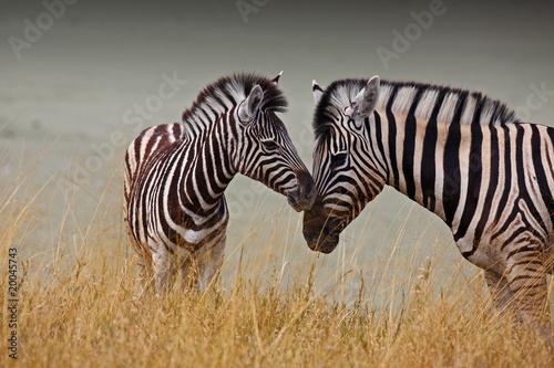 Staande foto Zebra Zebre - Madre e figlio