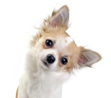 Cute Chihuahua Puppy Portrait