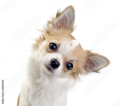 Photo cute chihuahua puppy portrait