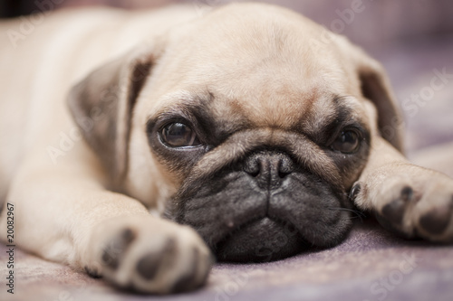 Cadres-photo bureau Chien small dog sleeping