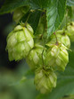 canvas print picture - hop-plant - raw material for production beer