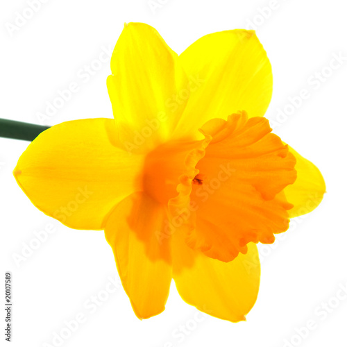 Garden Poster Narcissus Yellow daffodil