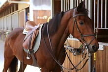 Brown Horse  With Saddle And R...