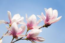 Magnolia Flowers On Sky