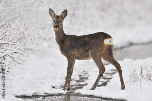 Foto op Canvas Ree Rehe im Winter