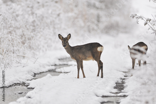 Photographie Rehe im Winter