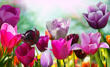 Fototapeta Tulipany - Beautiful spring flowers, tulips