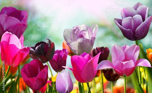 Photo  Beautiful spring flowers, tulips