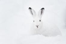Mountain Hare (lat. Lepus Timi...