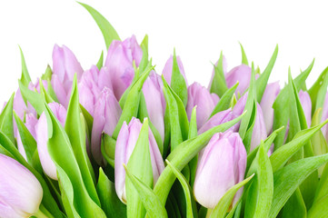 Violet tulips isolated on white background
