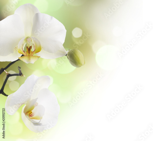 piekna-orchidea