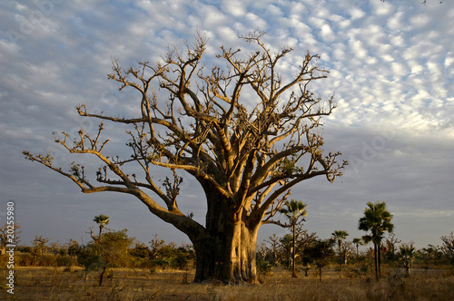 In de dag Baobab baobab tree (adansonia digitata) the symbol of senegal