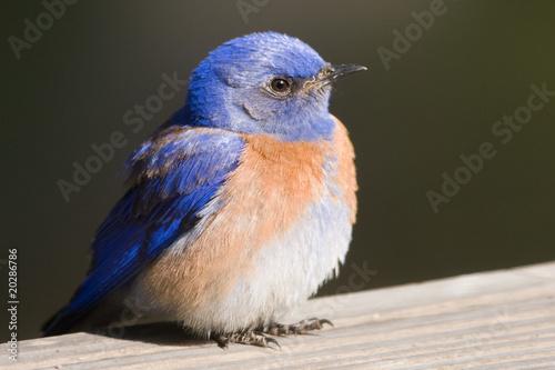 Western Bluebird on a Rail Canvas-taulu