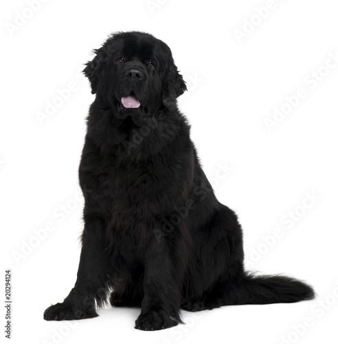 Newfoundland dog, sitting in front of white background Fototapeta