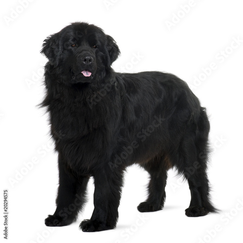 Fotografia Newfoundland puppy, standing in front of white background