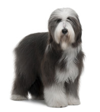 Bearded Collie, Standing In Fr...
